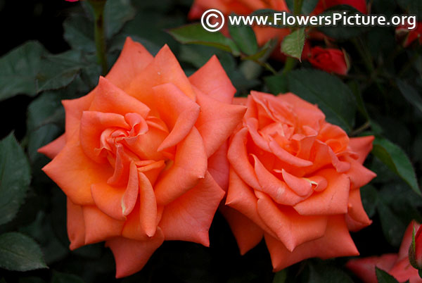 Coral spray rose