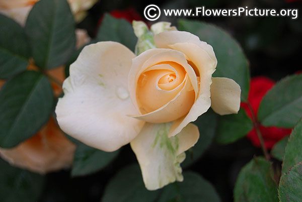 Cream rose bud lalbagh 2017