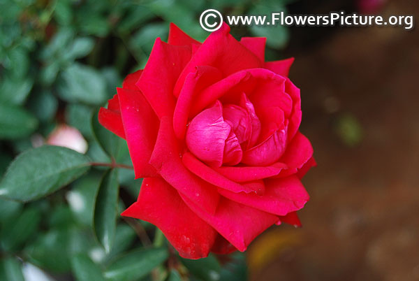 Crimson glory rose