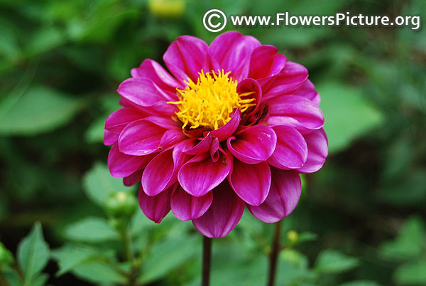 Decorative border dahlia purple