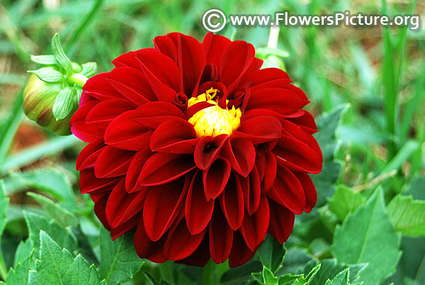 Decorative maroon dahlia