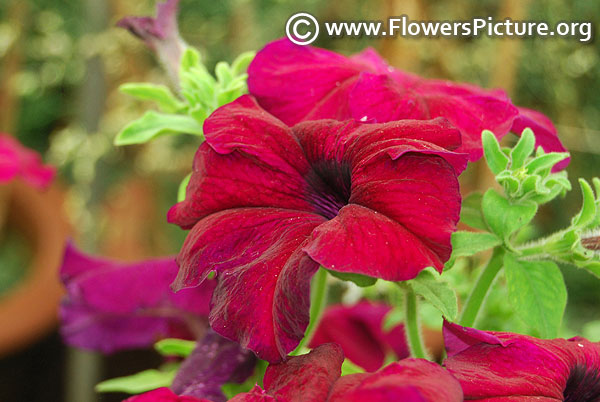 Deep purple petunia