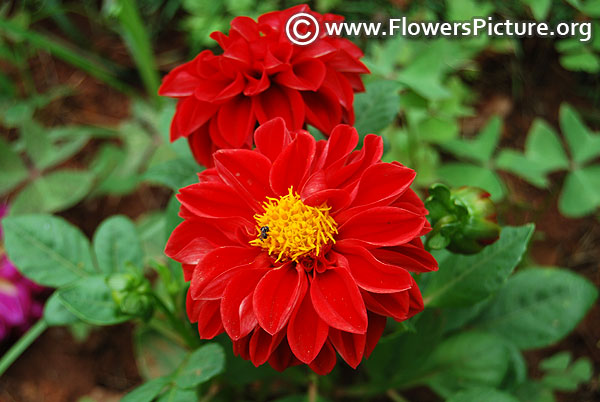 Figaro red dahlia