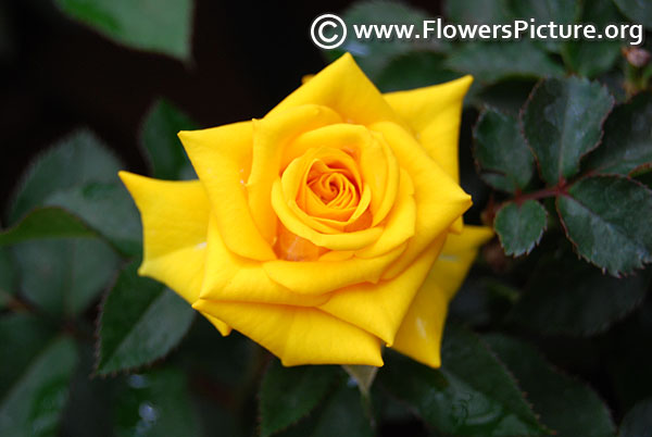 Friendship yellow rose