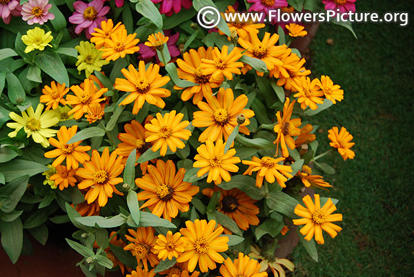 Golden yellow zinnia