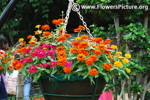 Hanging basket with zinnia