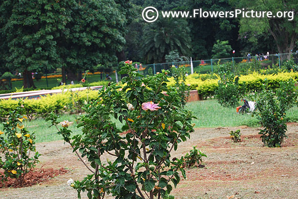 Hibiscus garden lalbagh