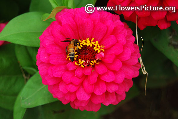 Honey bee on magenta zinnia flower