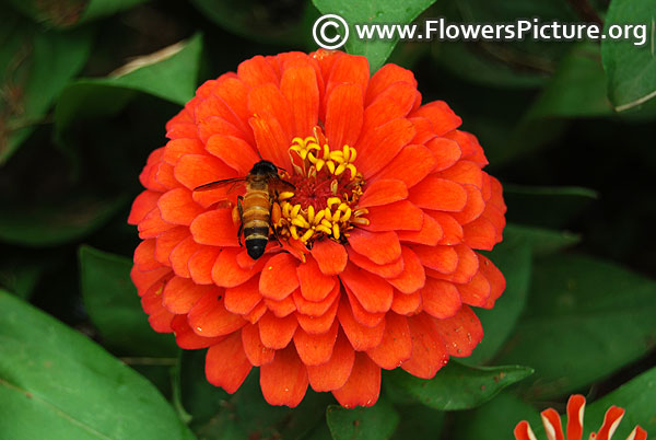 Honey bee on orange zinnia