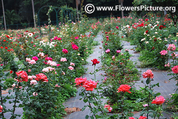 Lalbagh rose garden