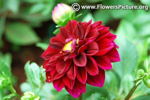 Maroon and magenta dahlia