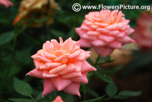 Peach patio rose