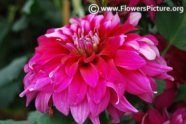 Purple white dinner plate dahlia