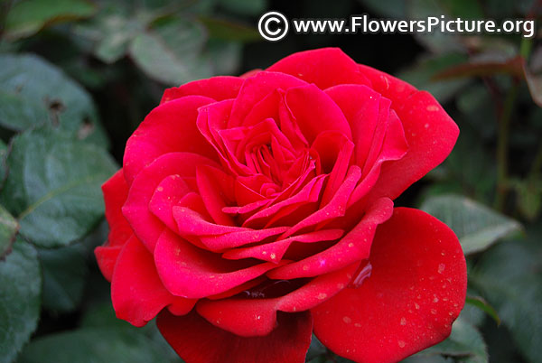 Raspberry red rose lalbagh 2017