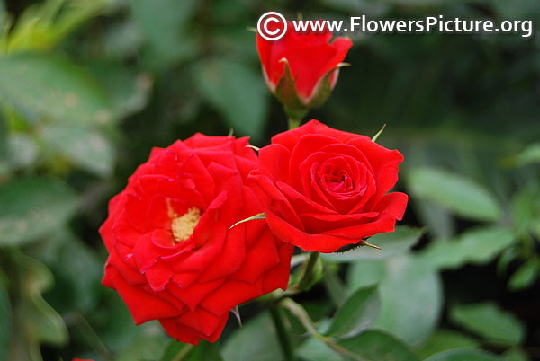 Red miniature rose lalbagh 2017