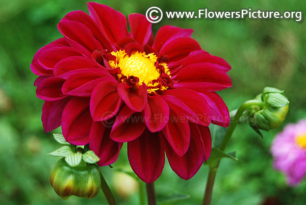 Ruby red dahlia dwarf variety