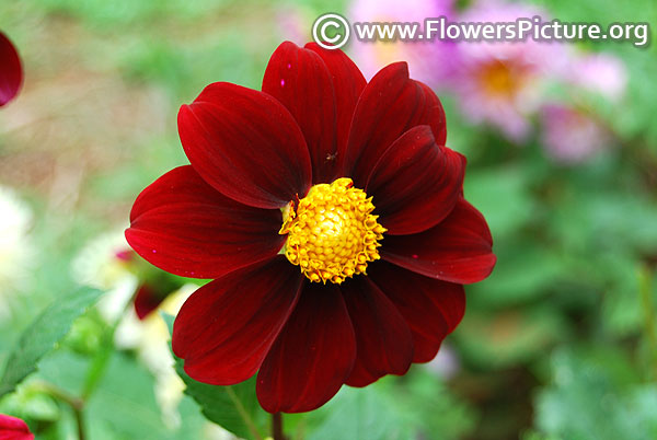 Single flowered dahlia