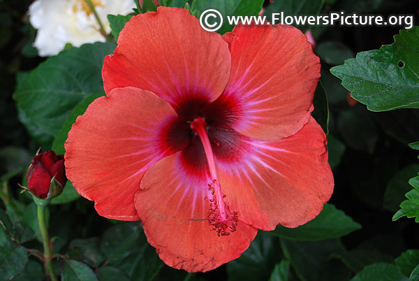 Tropical hibiscus chasing rainbows