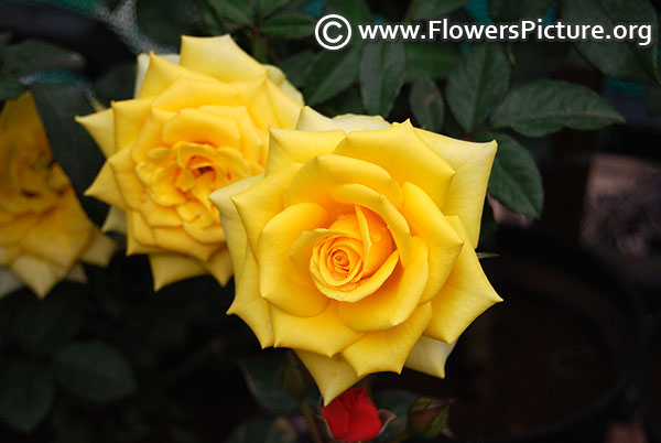 Yellow kenyan rose