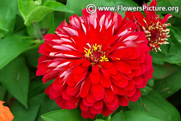 Zinnia benary giant wine
