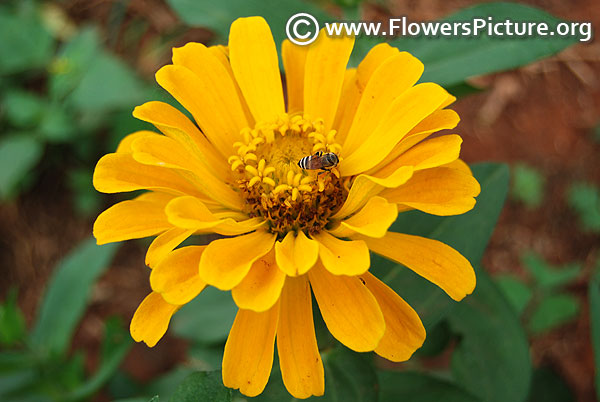 Zinnia elegans yellow 2017