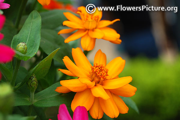 Zinnia haageana orange star