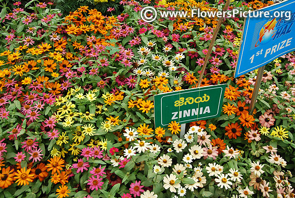Zinnia profusion all varieties