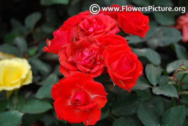 Red miniature clustered rose