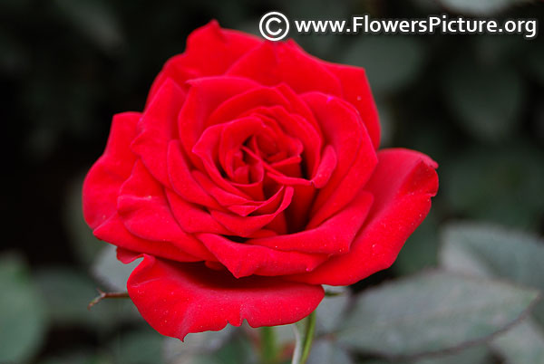 red color miniature rose