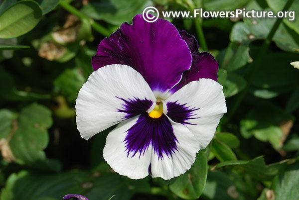 Bi color pansy