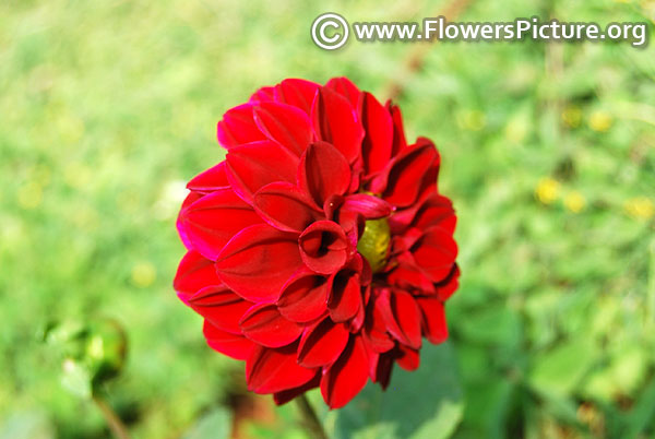 Crimson color dahlia