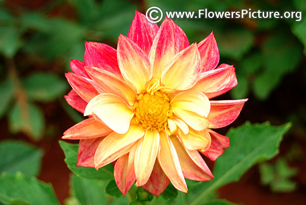 Dahlia red yellow
