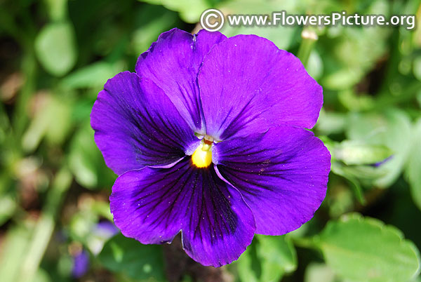 Dark purple pansy