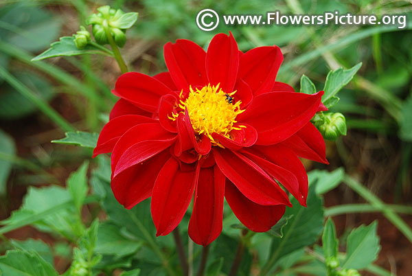 Dark red color dahlia
