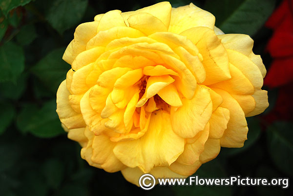 Extra large yellow grandiflora rose