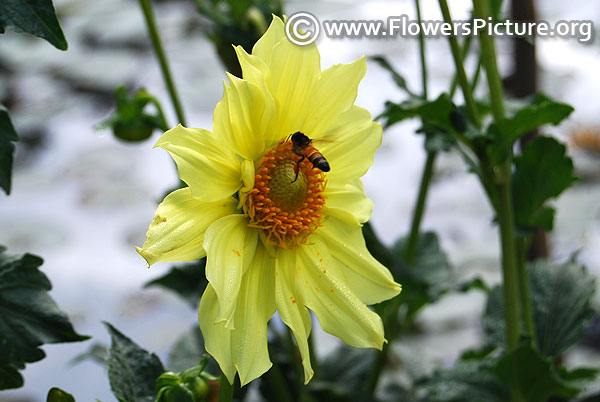 Lemon yellow dahlia with bee