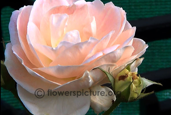 Light pink rose bangalore flower show 2014