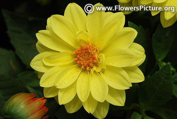 Lime yellow dahlia