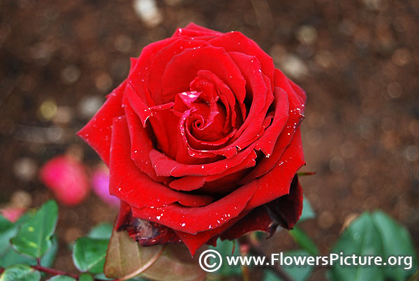 Mister lincoln rose lalbagh flower show 2014