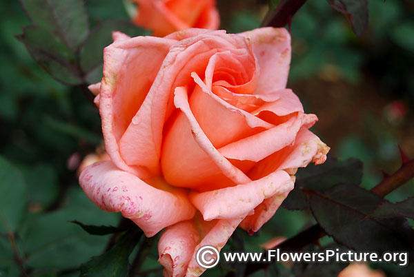 Nancy reagan rose
