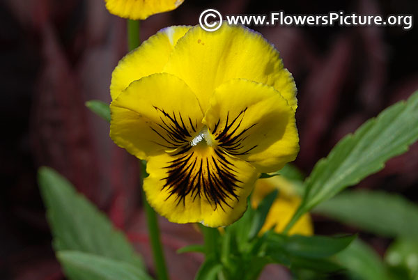 Pansy yellow black
