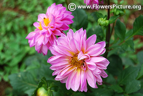 Pink with yellow dahlia