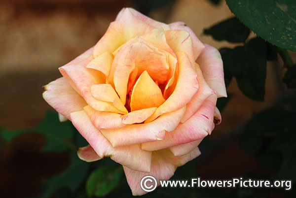 Sunset celebration rose