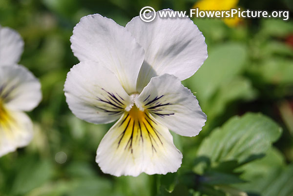White pansy with face markings
