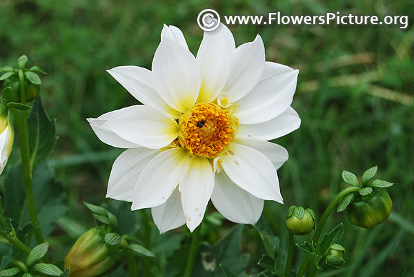 White with yellow dahlia bangalore