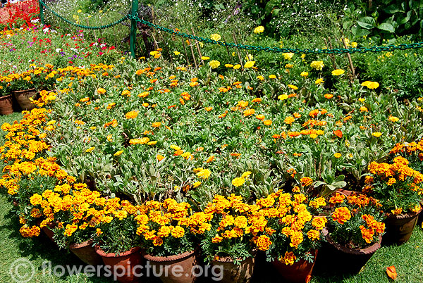 Calendula &French marigold pots display-Ooty flower show 2014