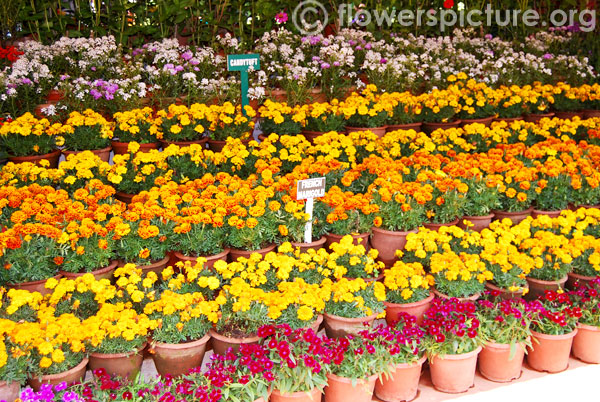 Candytuft & French marigold varieties display