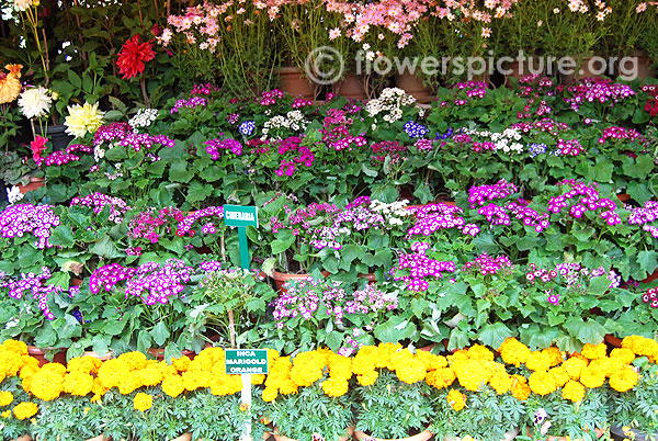 Cineraria variety display-Ooty flower show 2014