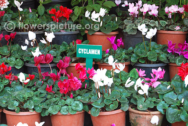 Cyclamen collections display-Ooty flower show 2014