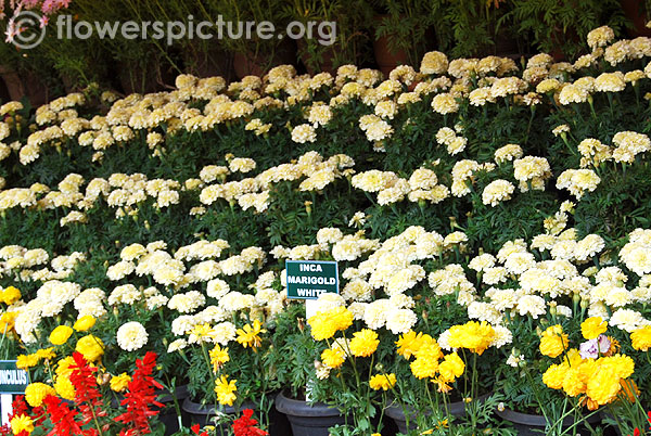 Inca marigold white display-Ooty flower show 2014